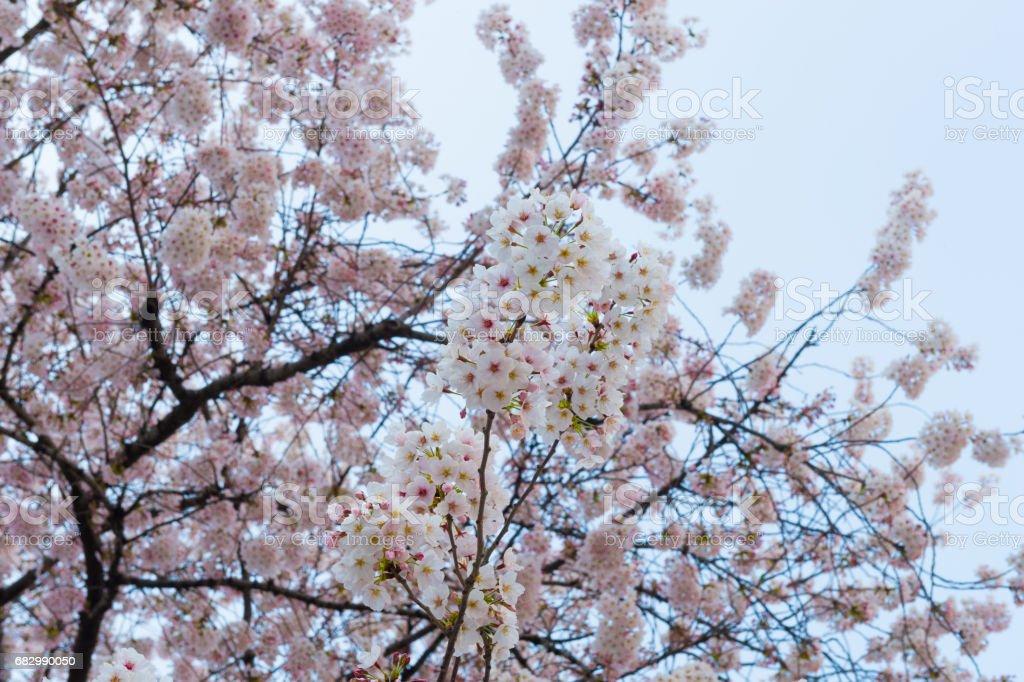 Beautiful cherry blossom sakura in spring time over blue sky. foto de stock royalty-free