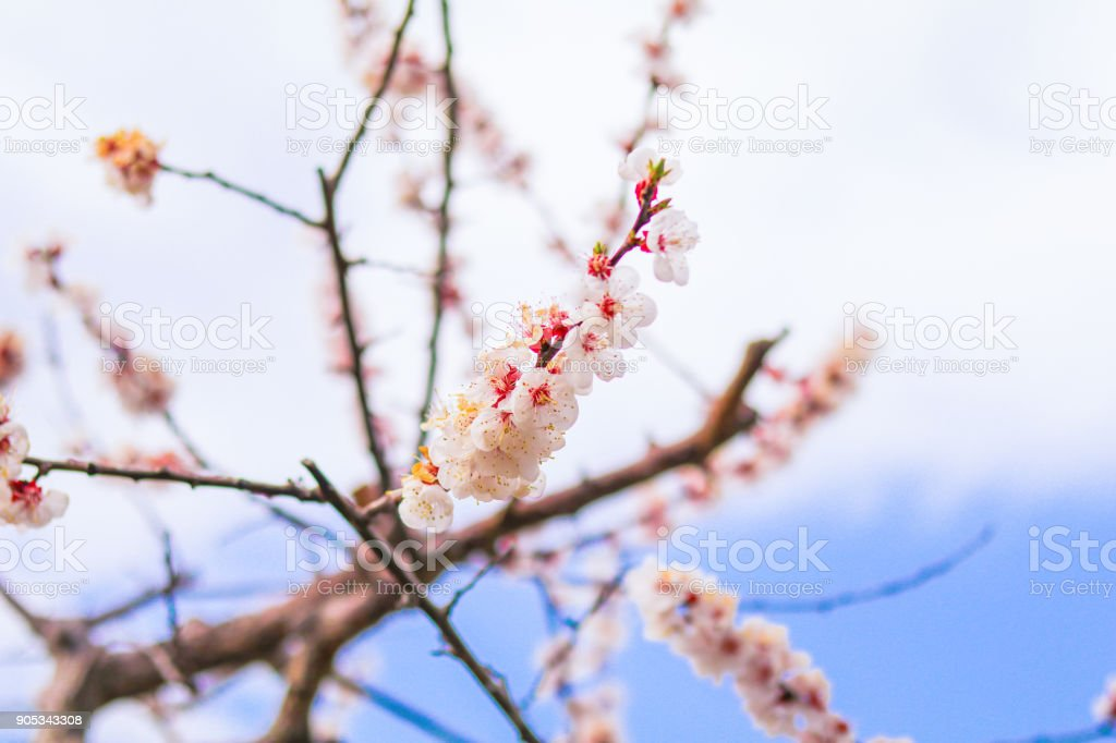 Beautiful cherry blossom , sakura  in spring time  (Soft focus ). stock photo