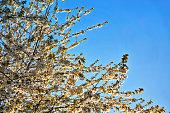 Beautiful cherry blossom sakura in spring with blue sky.