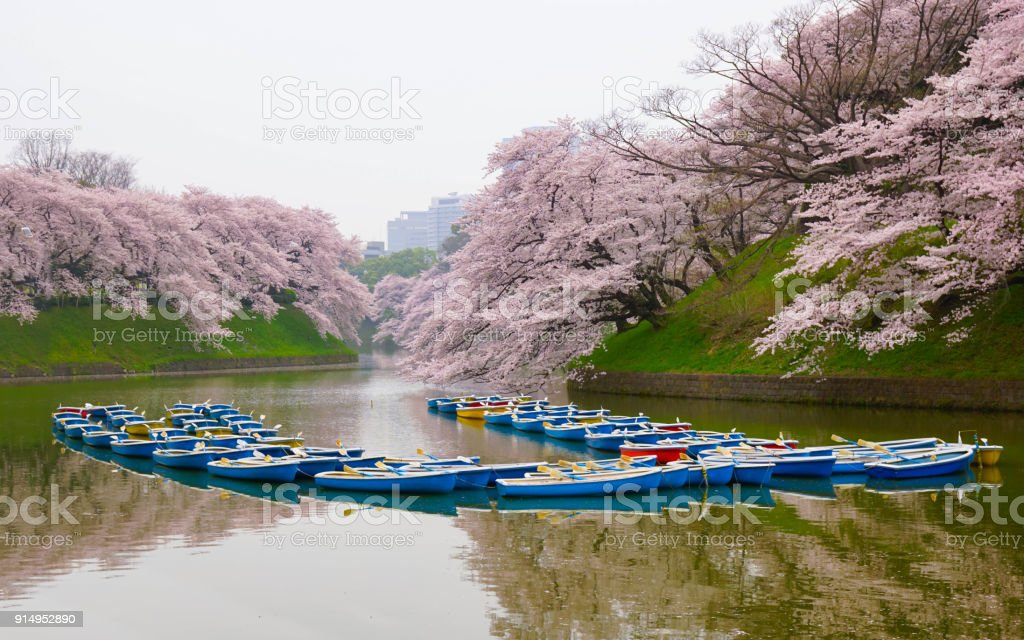 Beautiful cherry blossoms and rowboats with reflection on the lake, Moat, Tokyo, Japan, Boat, Sakura stock photo
