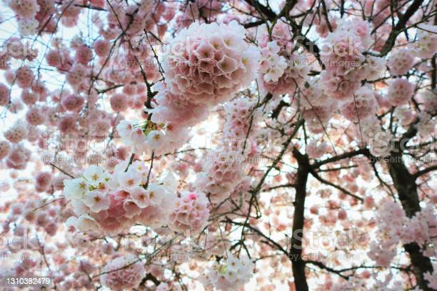 Photo of Beautiful Cherry Blossoms close up