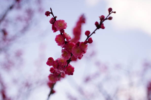 Beautiful cherry blossoms in Kyoto stock photo