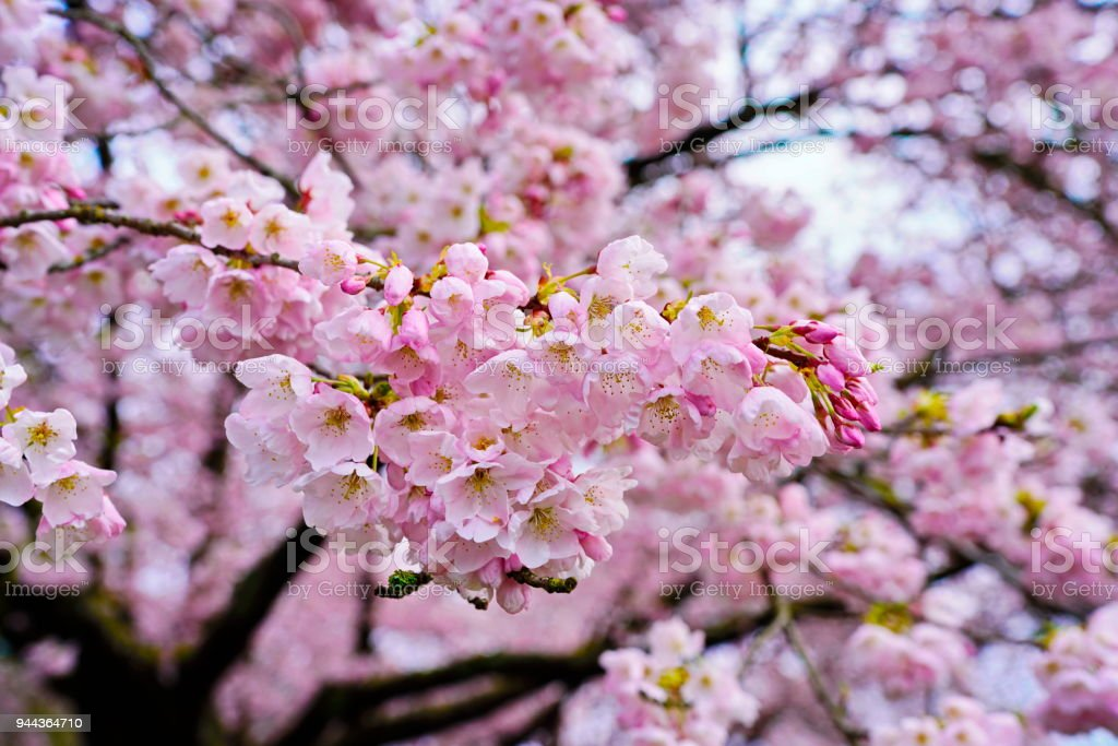 Beautiful cherry blossoms in Queen Elizabeth Park, Vancouver, BC, Canada stock photo