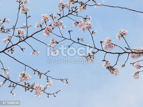 istock beautiful cherry blossoms in Tongji University, Shanghai, China. 517009230