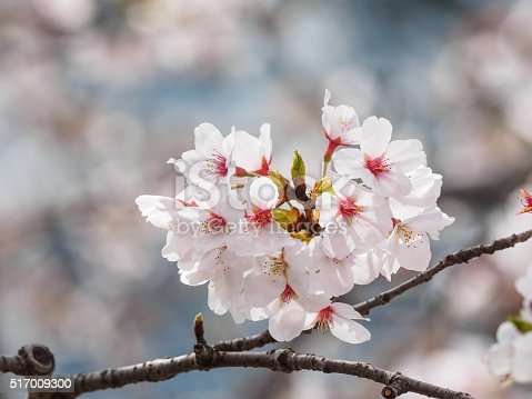 istock beautiful cherry blossoms in Tongji University, Shanghai, China. 517009300