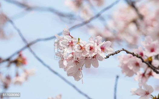 istock beautiful cherry blossoms in Tongji University, Shanghai, China. 517009350