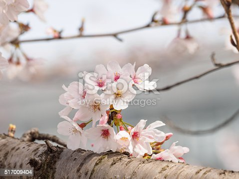 istock beautiful cherry blossoms in Tongji University, Shanghai, China. 517009404