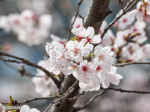 istock beautiful cherry blossoms in Tongji University, Shanghai, China. 517009444