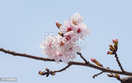 istock beautiful cherry blossoms in Tongji University, Shanghai, China. 517009462