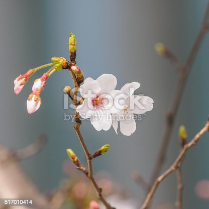 istock beautiful cherry blossoms in Tongji University, Shanghai, China. 517010414