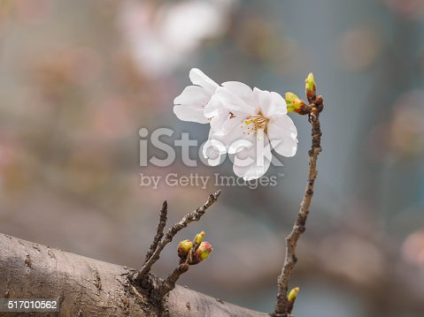 istock beautiful cherry blossoms in Tongji University, Shanghai, China. 517010562