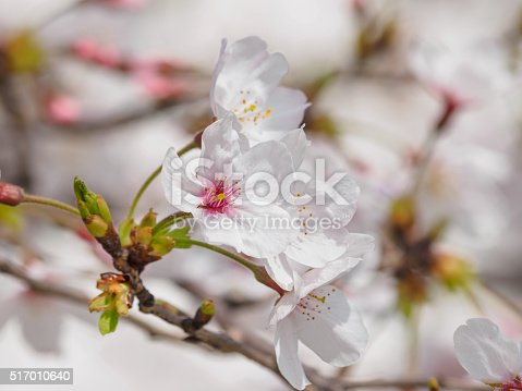 istock beautiful cherry blossoms in Tongji University, Shanghai, China. 517010640