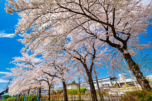 Beautiful Cherry Blossoms On Sunny Day