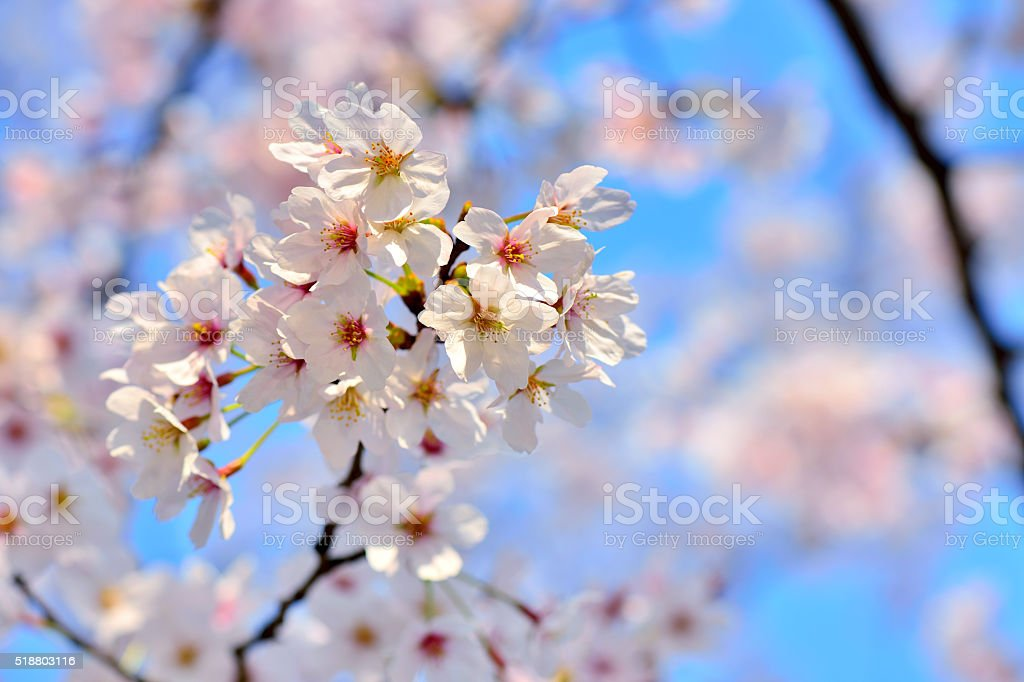 Beautiful Cherry Blossoms stock photo