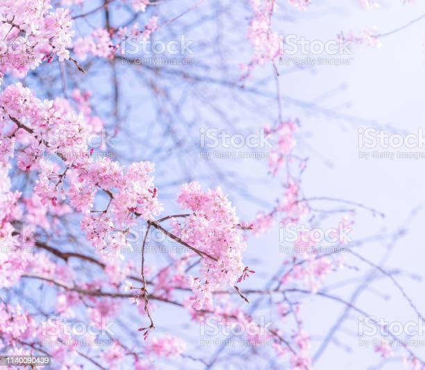 Beautiful cherry blossoms sakura tree bloom in spring in the park picture id1140090439?b=1&k=6&m=1140090439&s=612x612&h=08wdsjbx hreq6mz8xmkkfgjgosv o8g64v5skrlf m=