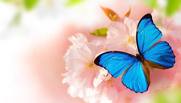 Beautiful cherry tree blossoms with exotic butterfly picture id521798552?b=1&k=6&m=521798552&s=612x612&w=0&h=laijczmmnmfh qprf hr7tgv6mpxuaiq nkmi hsxhm=