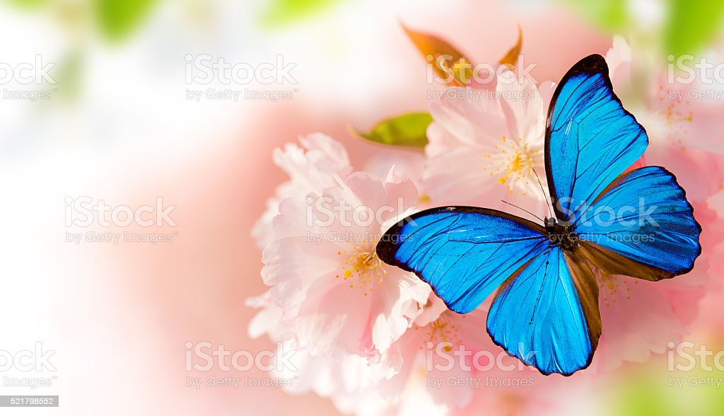 Beautiful cherry tree blossoms with exotic butterfly stock photo