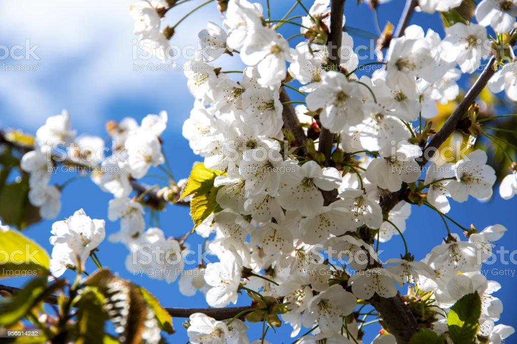 Wunderschöne Kirschbaum Blumen - Lizenzfrei Ast - Pflanzenbestandteil Stock-Foto