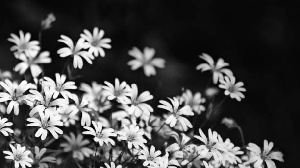Beautiful chickweed flowers in black and white. Stellaria graminea stock photo