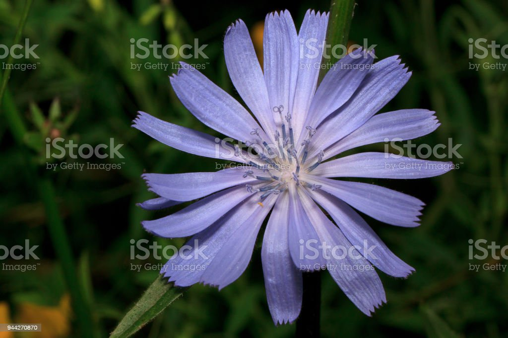 Beautiful chicory flower is growing on a green meadow. stock photo