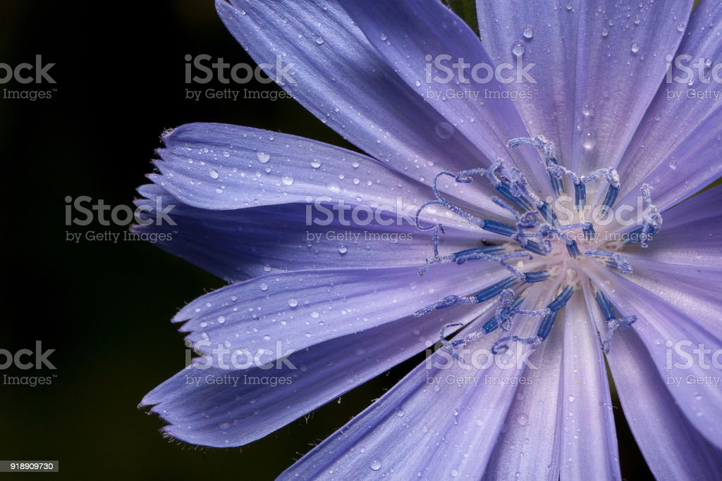 Beautiful chicory flower with drops of summer rain. stock photo
