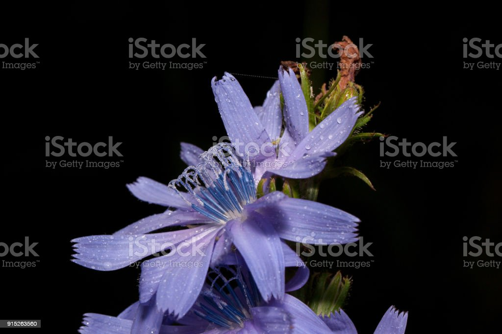 Beautiful chicory flowers is growing on a green meadow. Live nature. stock photo