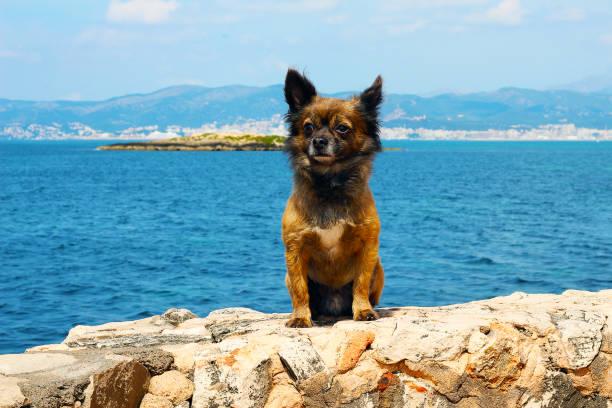 beautiful chihuahua at the Mediterranean Sea stock photo