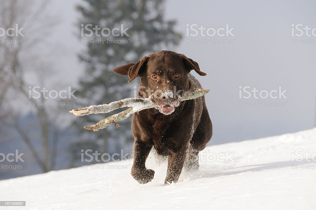 Beautiful Chocolate Brown Labrador Retriever fetching Stick in the Snow royalty-free stock photo