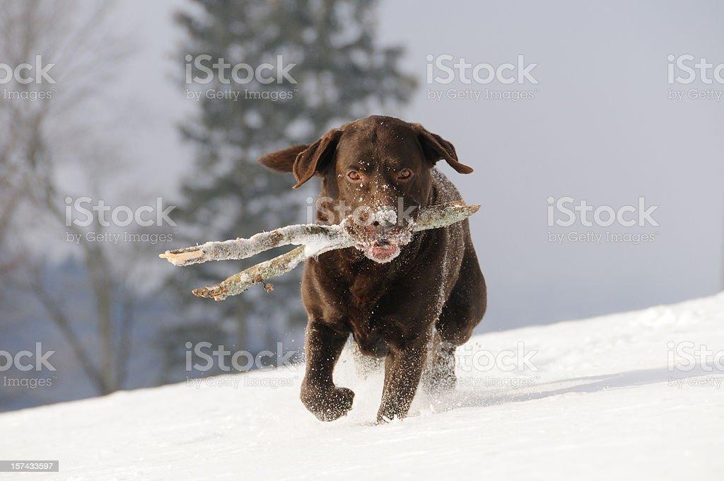 Beautiful Chocolate Brown Labrador Retriever fetching Stick in the Snow stock photo