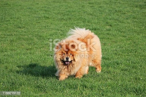 walking chow chow in the garden