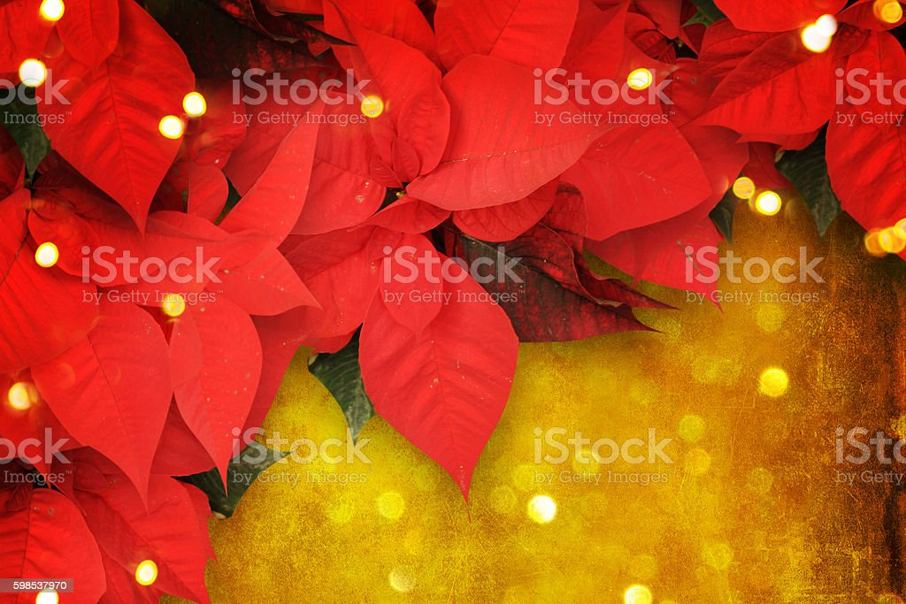 beautiful christmas background with red poinsettia photo libre de droits