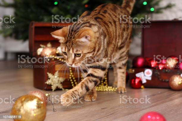 Beautiful christmas cat playing with the toys picture id1074658118?b=1&k=6&m=1074658118&s=612x612&h=2gcu49fhqpndufs5xzdoedcl tndsvw fsolorockp0=