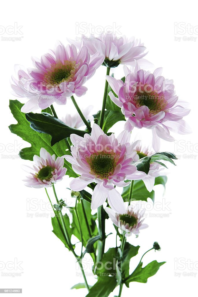 Beautiful chrysanthemum flower isolated on white background royalty-free stock photo