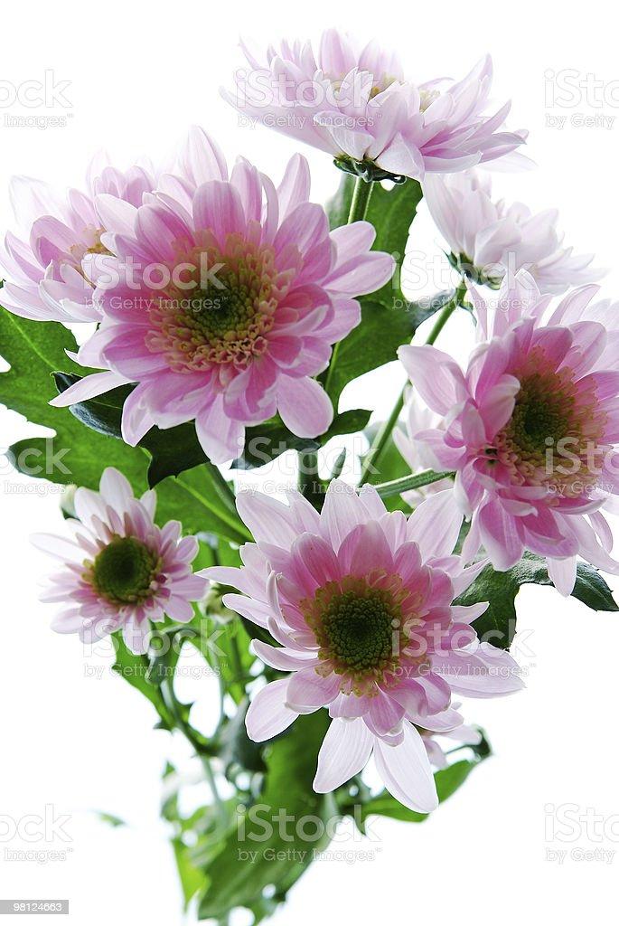 Bellissimo fiore di Crisantemo isolato su sfondo bianco foto stock royalty-free