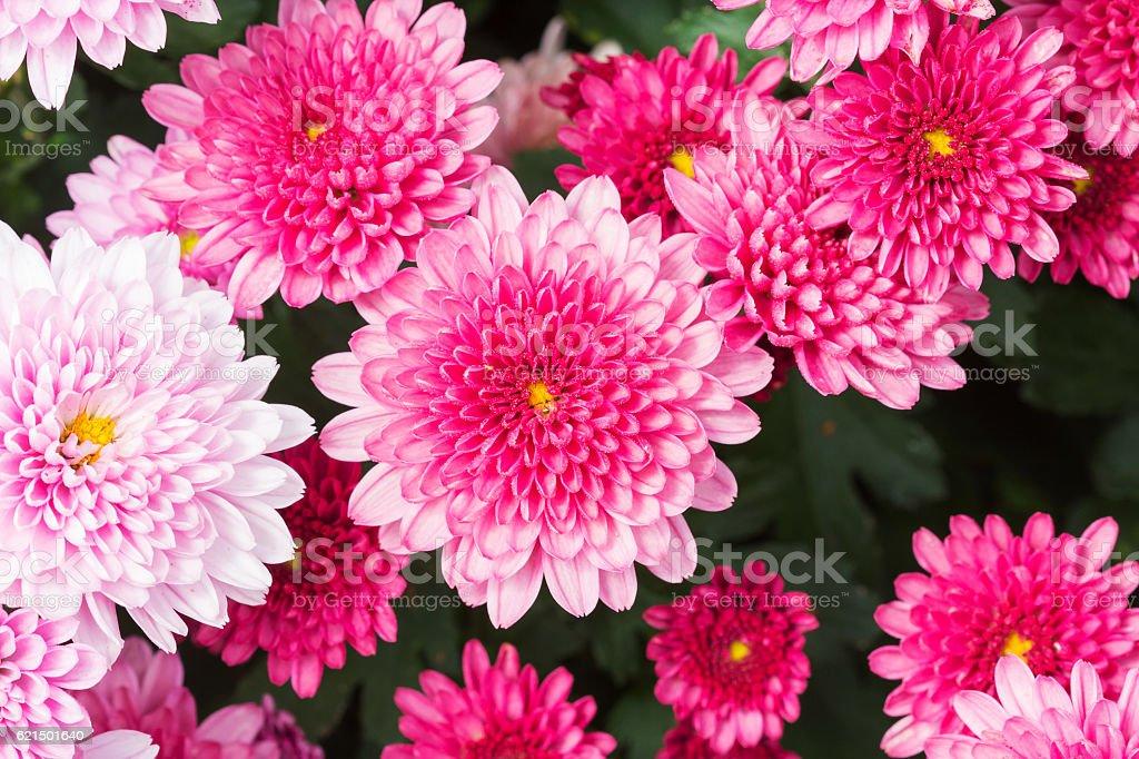 Beautiful Chrysanthemum Flowers, Closeup Chrysanthemum for background. photo libre de droits