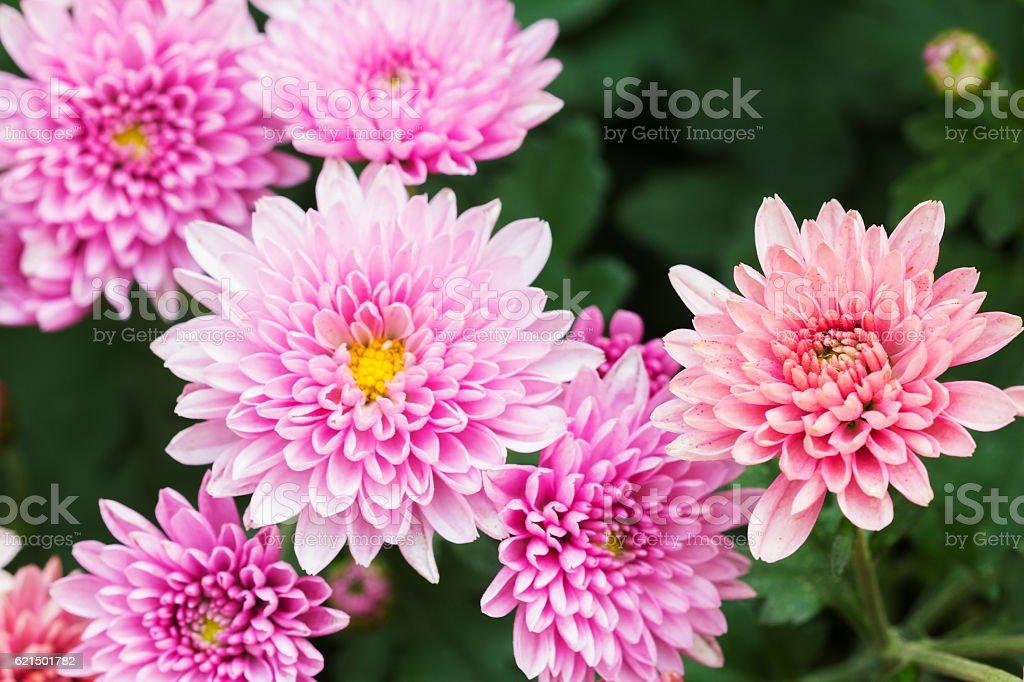 Beautiful Chrysanthemum Flowers, Closeup Chrysanthemum for background. foto stock royalty-free