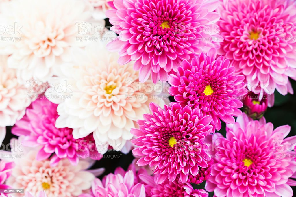Beautiful Chrysanthemum Flowers, Closeup Chrysanthemum for background. photo libre de droits