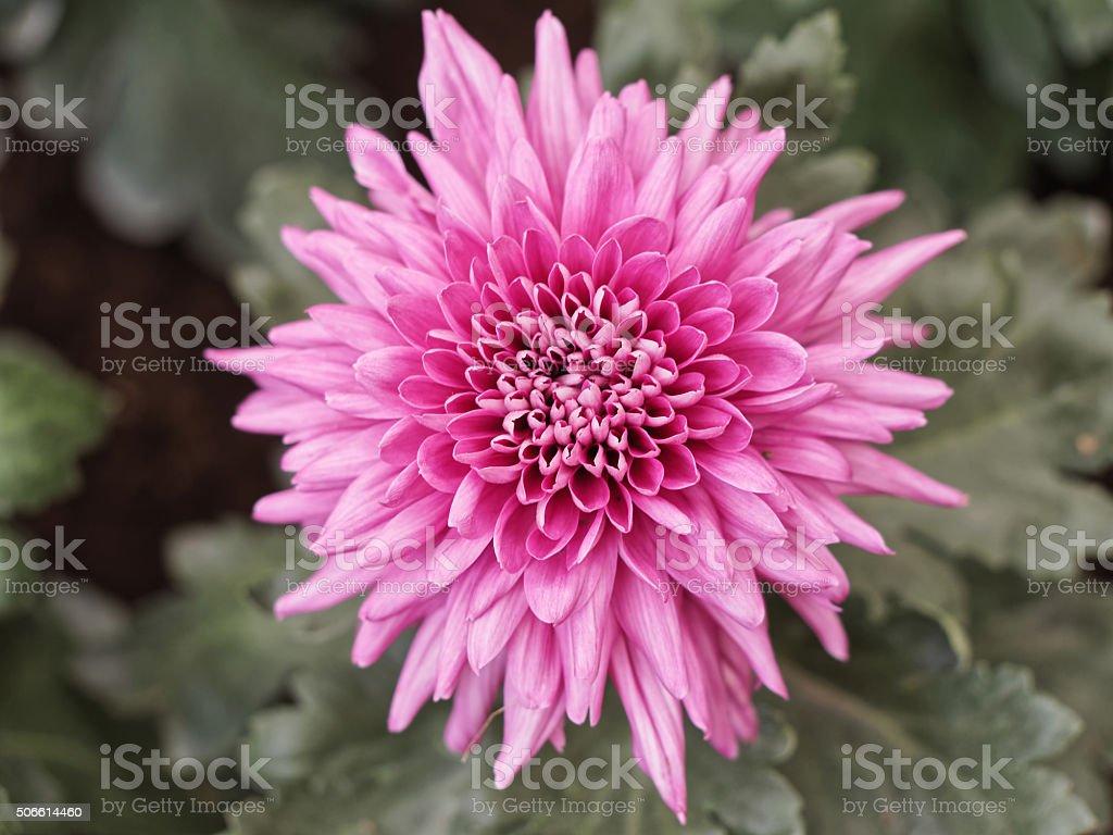 Beautiful chrysanthemum in garden stock photo