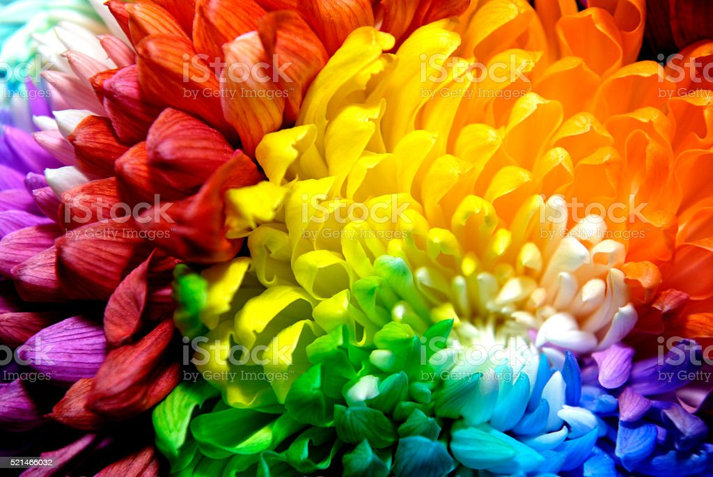 Beautiful chrysanthemums of different colors stock photo