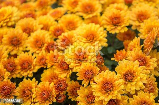 Beautiful chrysanthemums growing in the garden