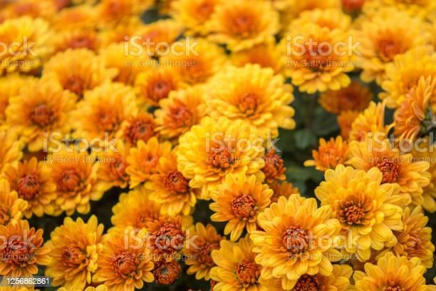 Photo of Beautiful chrysanthemums
