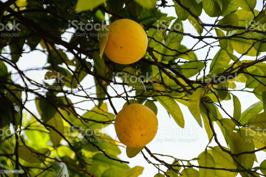 Beautiful citrus tree with ripe fruits close-up
