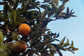 Beautiful citrus tree with ripe fruits close-up