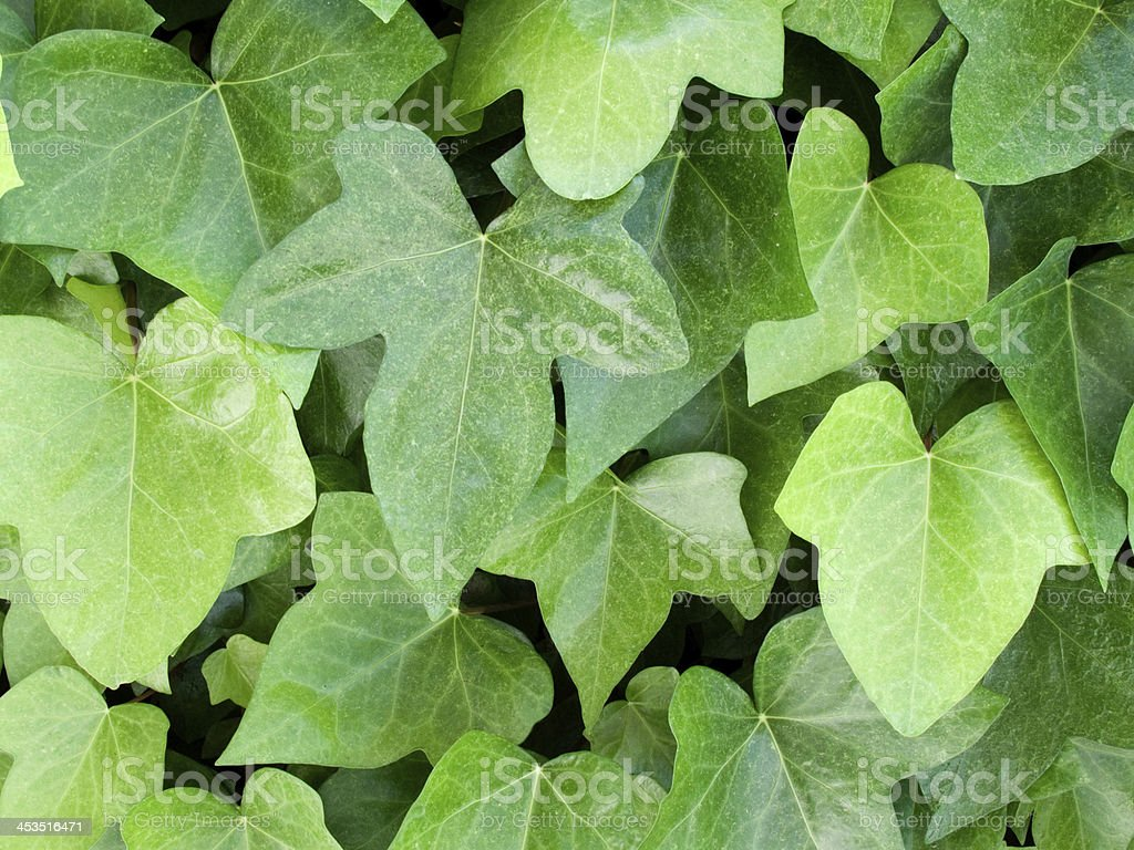 Beautiful climbing plant royalty-free stock photo