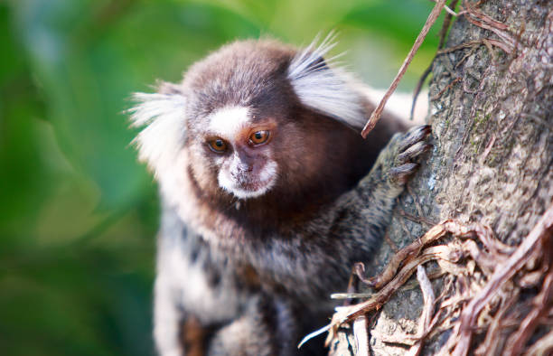 Beautiful close up of a marmoset perched on the edge of a tree trunk Close up of a Common marmoset (Callithrix jacchus), with a natural green bush background and natural sunlight common marmoset stock pictures, royalty-free photos & images