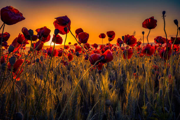 Beautiful close up shot of many wild poppies growing in a wheat field shot at sunrise against the rising sun stock photo