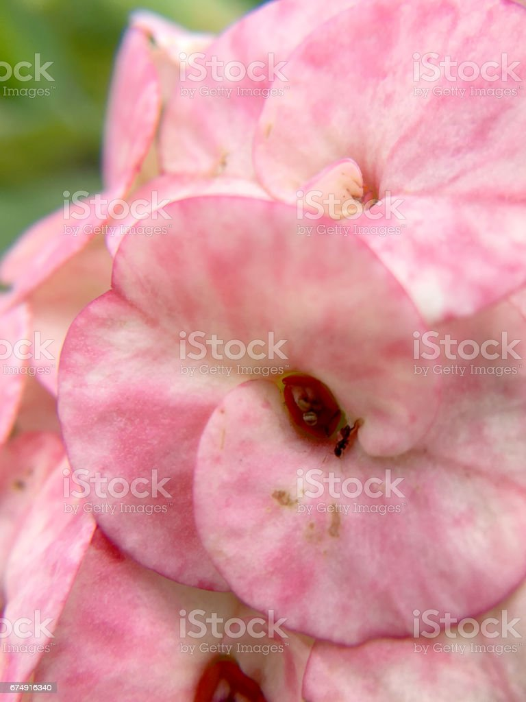 Beautiful closed up of pink Crown of thorns royalty-free stock photo