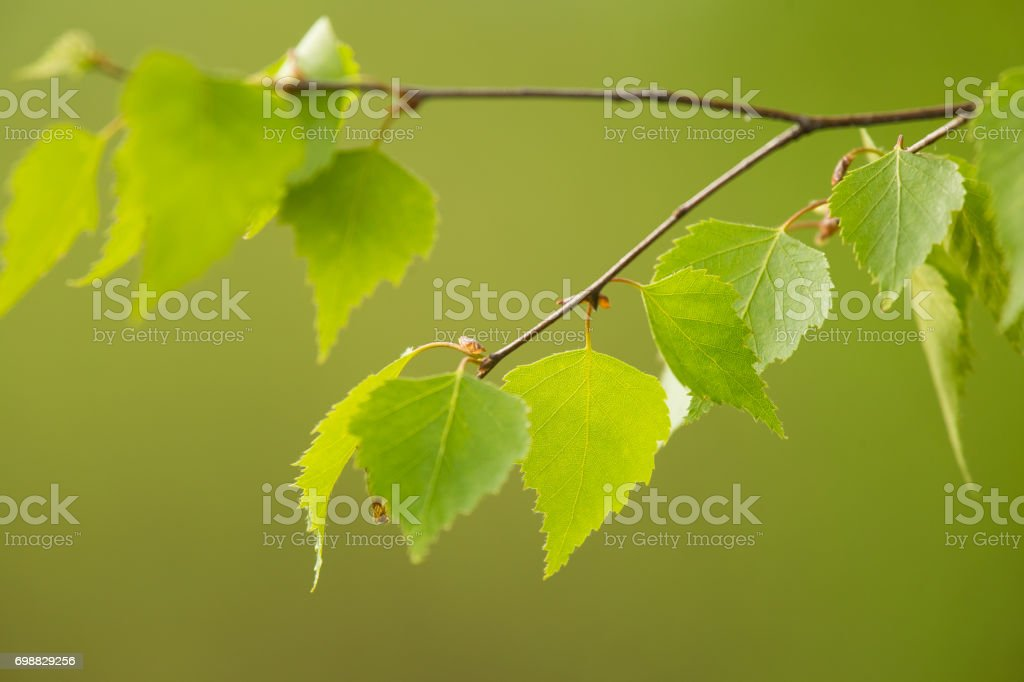 A beautiful closeup of a birch branches in spring stock photo