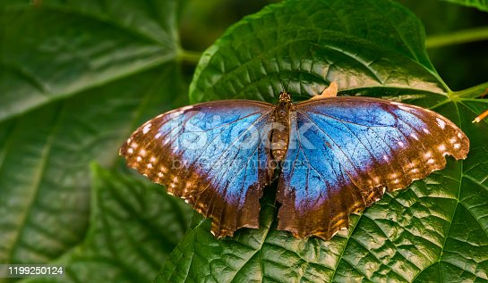 beautiful closeup of a Peleides blue morpho butterfly with open wings, Tropical insect specie from America