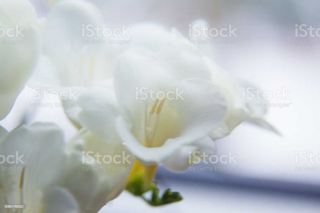 A beautiful closeup of a white freesia flower with shallow depth of field. Spring flowers near the window. стоковое фото